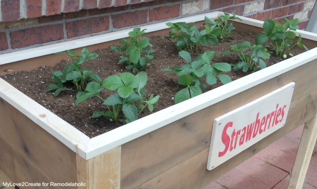strawberry plants in DIY planter, MyLove2Create for Remodelaholic