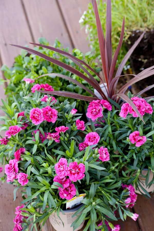 These 3 easy planting tips for outdoor pots will help your create and plant a beautiful porch planter that will have plenty of large blooms all summer long! This Mama's Dance for #Remodelaholic