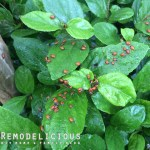 Super-Parenting With Aphid Destroying LadyBugs