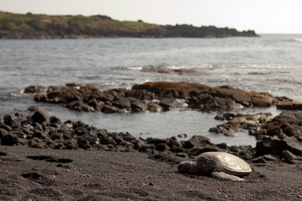 A lone turtle on the black sand beach.