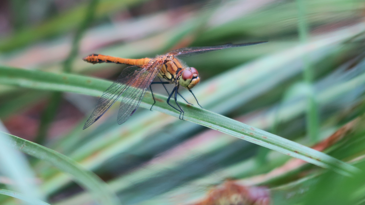 Yellow-ochre dragonfly seen from the side, amid reeds
