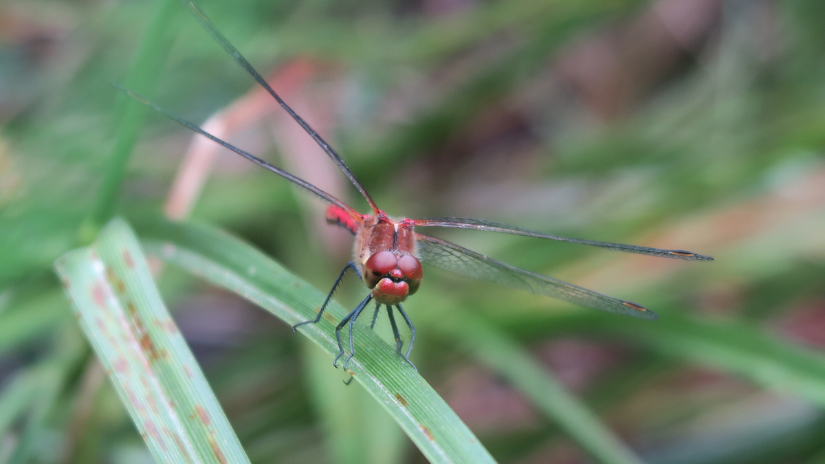 Red dragonfly seen head-on, amid reeds