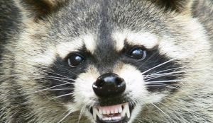 Raccoon Trapping / Raccoon Removal
