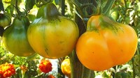 Aladdin's Lamp Tomato Seeds For Sale At Renaissance Farms