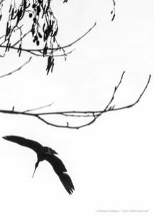 Ibis Eremita. Parco Faunistico La Torbiera, 2015 - Nikon D810, 155mm (85-400mm ƒ4.5-5.6) 1/1250 ƒ/29 ISO 3200