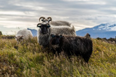"""Four friends"". Sheep in a field by Búðir. Nikon D810, 120 mm (24-120.0 mm ƒ/4) 1/400 sec ƒ/4.5 ISO 64"