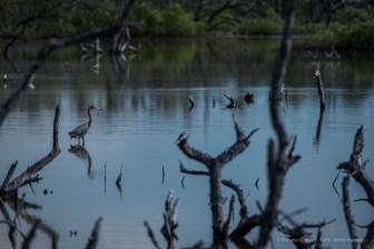"Blue heron (Ardea herodias), perfectly disguised in the environment. Playa Las Gaviotas. Nikon D750, 400 mm (80-400.0 ƒ/4.5-5.6) 1/500"" ƒ/8 ISO 100"