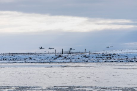 """Four swans (Cignus cignus), disturbed by our arrival, fly in formation southbound on the river Djupos. Nikon D750, 400 mm (80-400.0 mm ƒ/4.5-5.6) 1/200"""" ƒ/6.3 ISO 100"""
