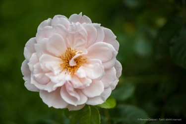 English Rose by David Austin Roses. Nikpn D810, 105 mm (105.0 mm ƒ/2.8) 1/500 ƒ/3 ISO 64