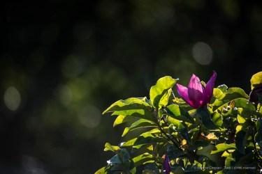 "Infiorescenza estiva di una magnolia. Nikon D750, 600 mm (Sigma 150-600 ƒ/5-6.3) 1/100"" ƒ/6.3 ISO 100"