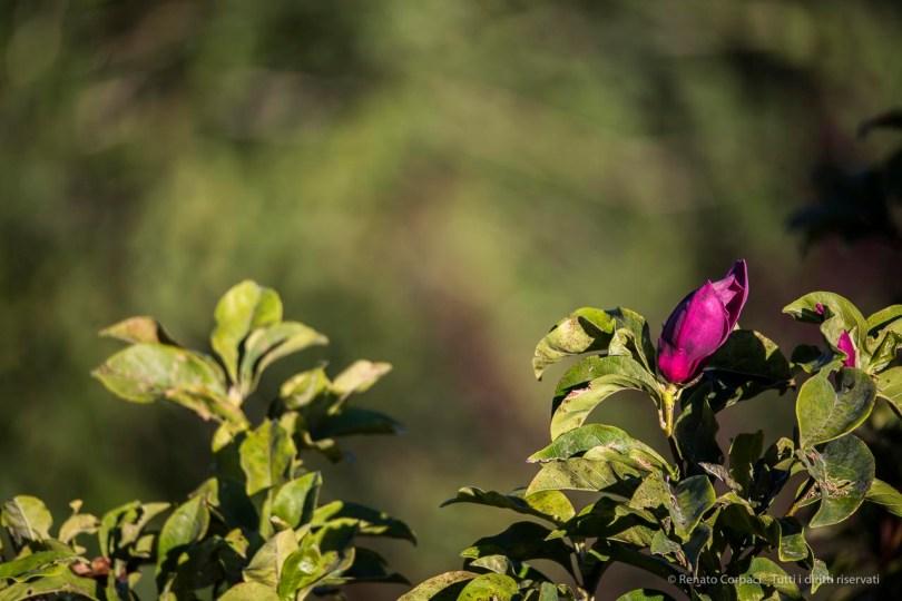 "Infiorescenza estiva di una magnolia. Nikon D810, 600 mm (Sigma 150-600 ƒ/5-6.3) 1/100"" ƒ/6.3 ISO 64"