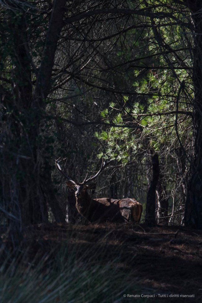 """King of the forest. A red deer in the bush in Doñana. Nikon D750, 390 mm (80-400 mm ƒ/4.5-5.6) 1/1600"""" ƒ/6.3 ISO 400"""