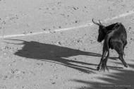 Tourou cocardier, Arenas de Saint Maries de la mer, November 2015Nikon D750, 120mm (80-400.0 mm ƒ/4.5-5.6) 1/1250 sec ƒ/11 ISO 800