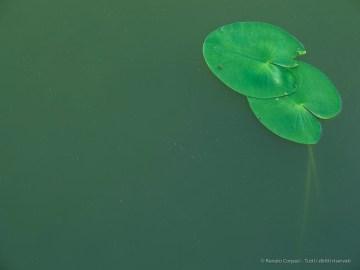 "Lotus leaves, Torbiera del Sebino, July 2017. Canon Powershot G1 X, 1/13"" ƒ/5.8 ISO 100"
