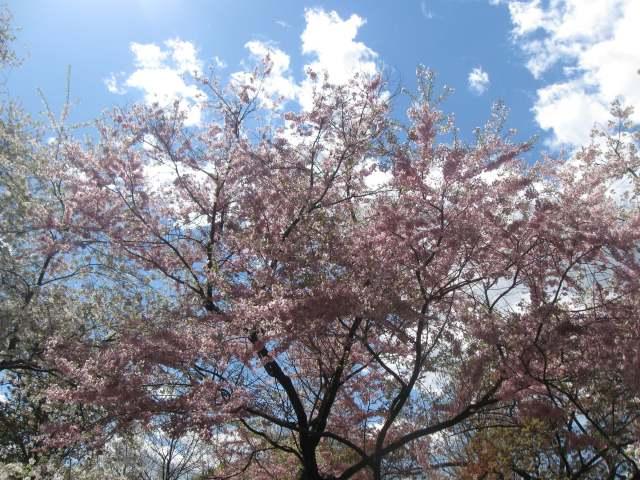 Early bloom at Brooklyn Botanic Garden