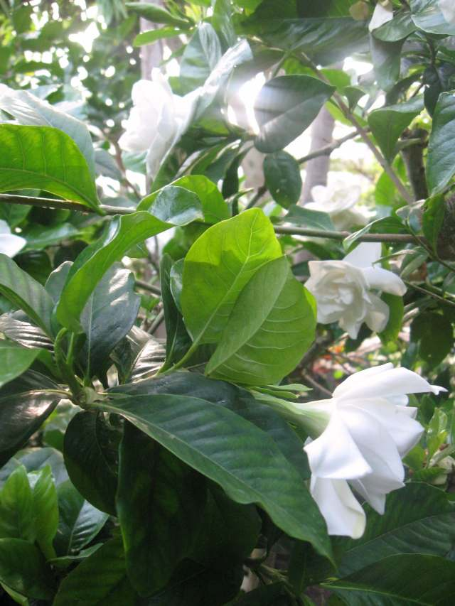 Fragrant gardenias in the rain forest pavilion