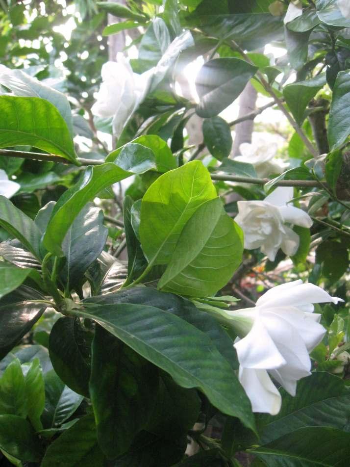 Fragrant gardenias in the rain forest pavilion