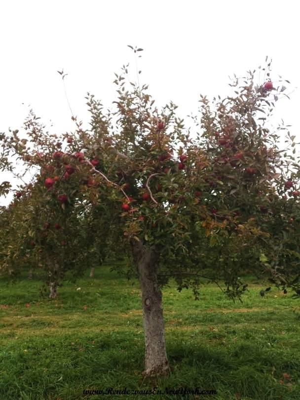Apple pick season at Fishkill Farms, NY