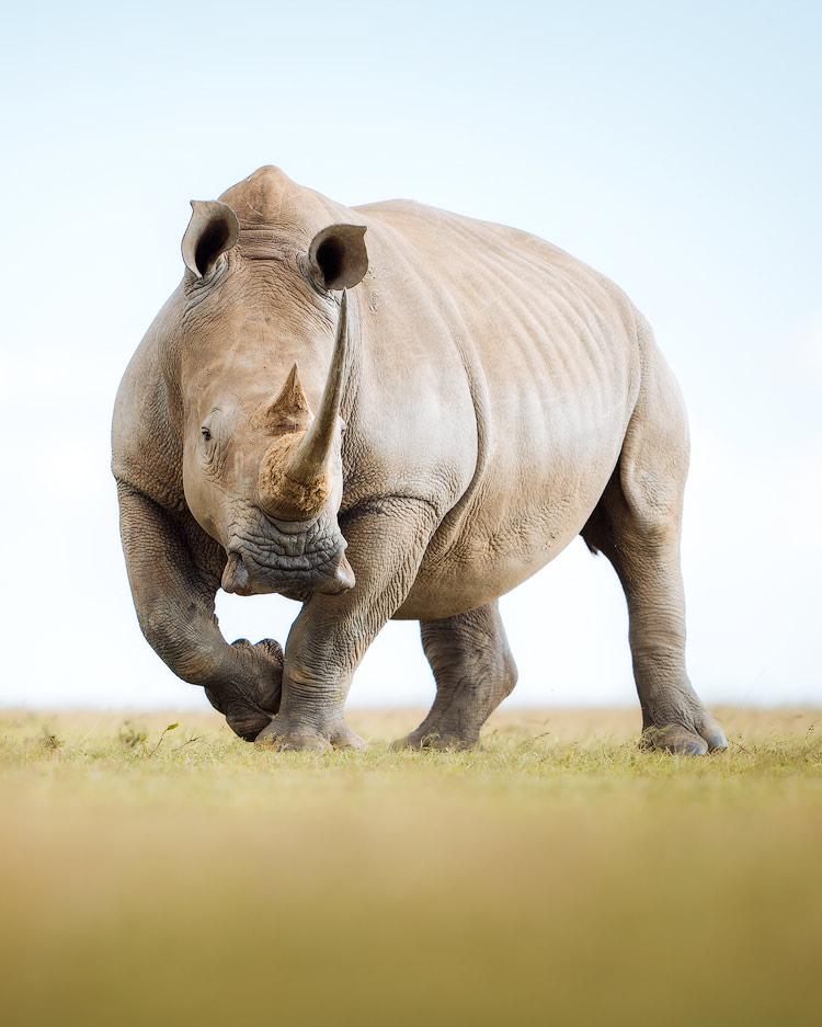 Experiencing an Incredible Luxury Safari at Solio Lodge Kenya Southern White Rhino