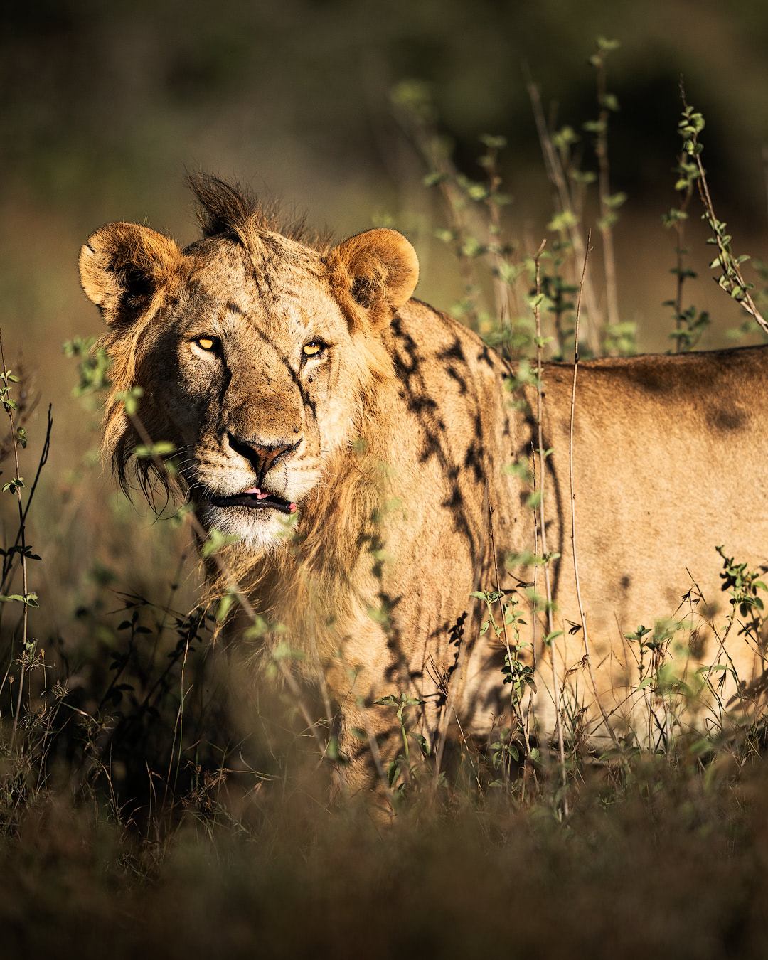 Experiencing an Incredible Luxury Safari at Solio Lodge Kenya Young Male Lion