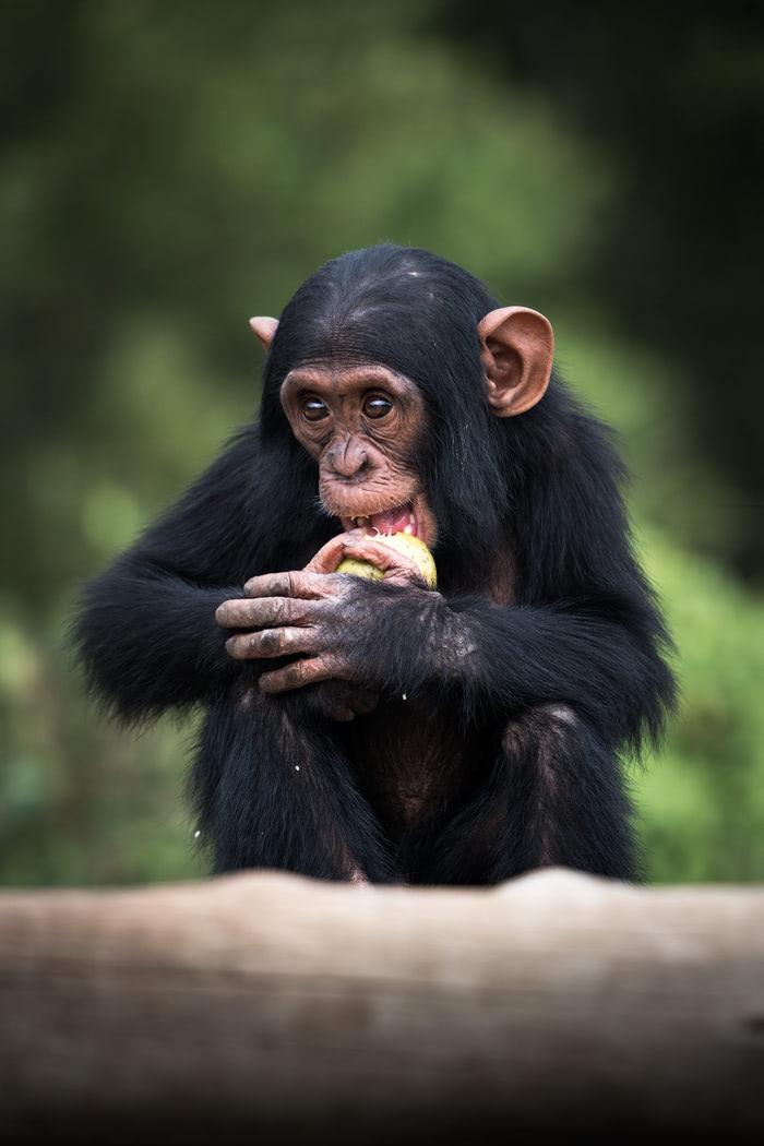 Ultimate Safari Adventure at Ol Pejeta Conservancy Kenya Chimpanzee Baby 2