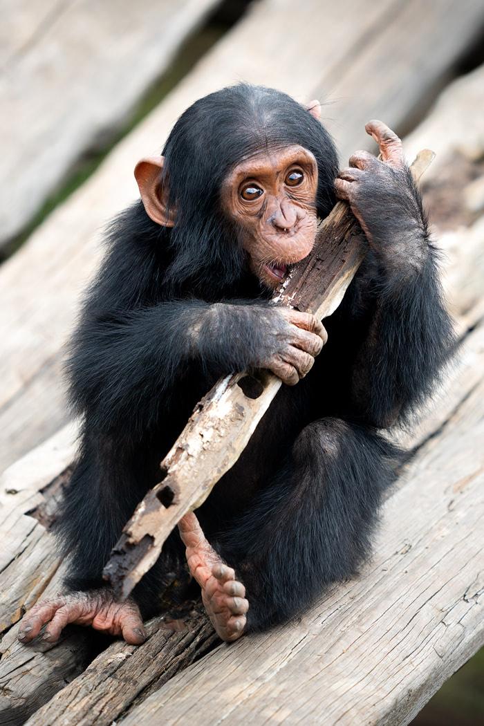 Ultimate Safari Adventure at Ol Pejeta Conservancy Kenya Chimpanzee Baby 3