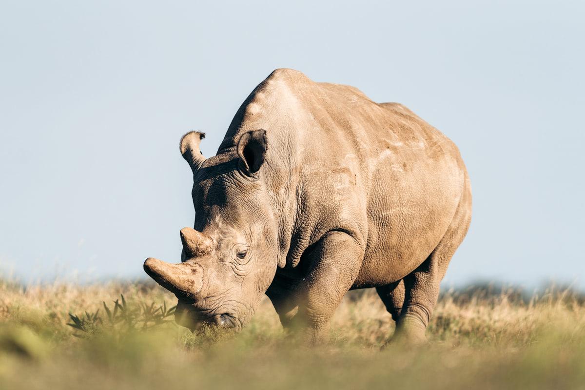 Ultimate Safari Adventure at Ol Pejeta Conservancy Kenya Horse Northern White Rhino