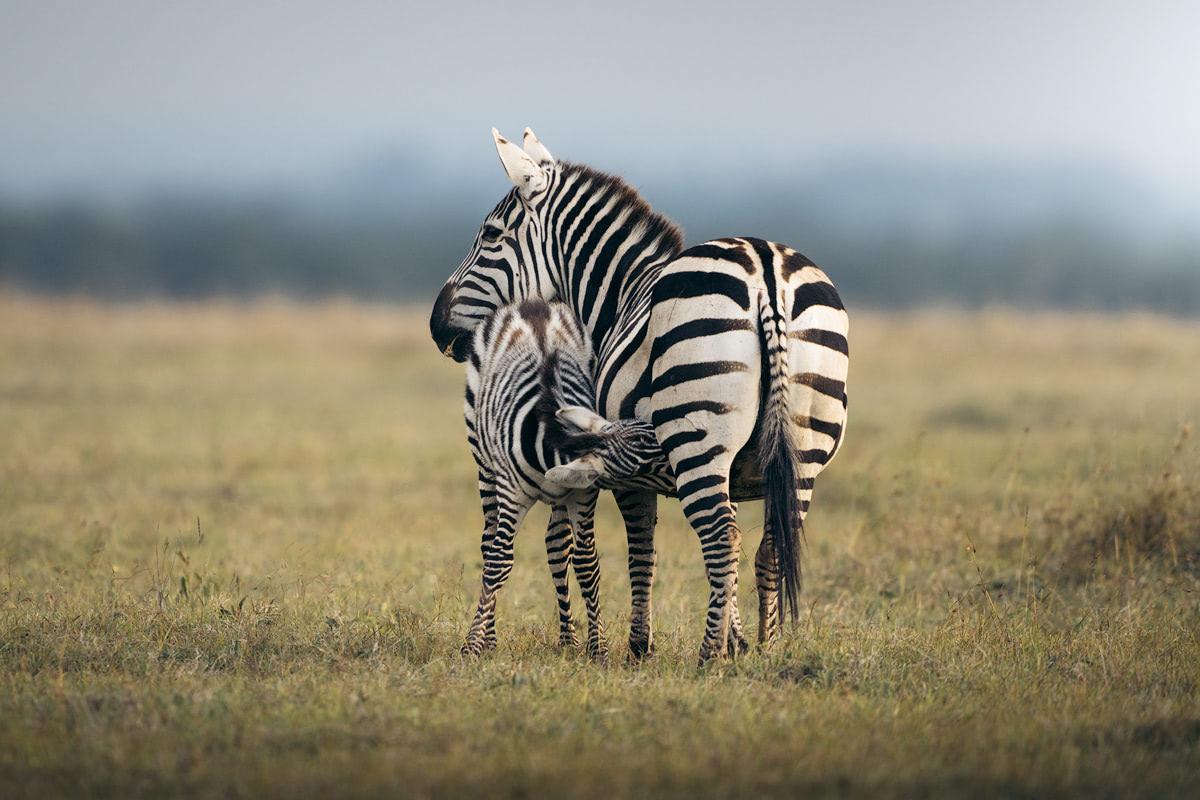 Ultimate Safari Adventure at Ol Pejeta Conservancy Kenya Zebras