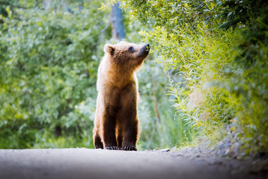 Introduction to Bear Safety when Hiking and Camping - Hiking with bears in Katmai National Park