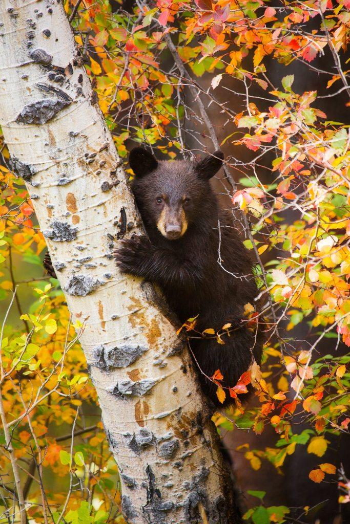 Grand Teton National Park Bear Cub