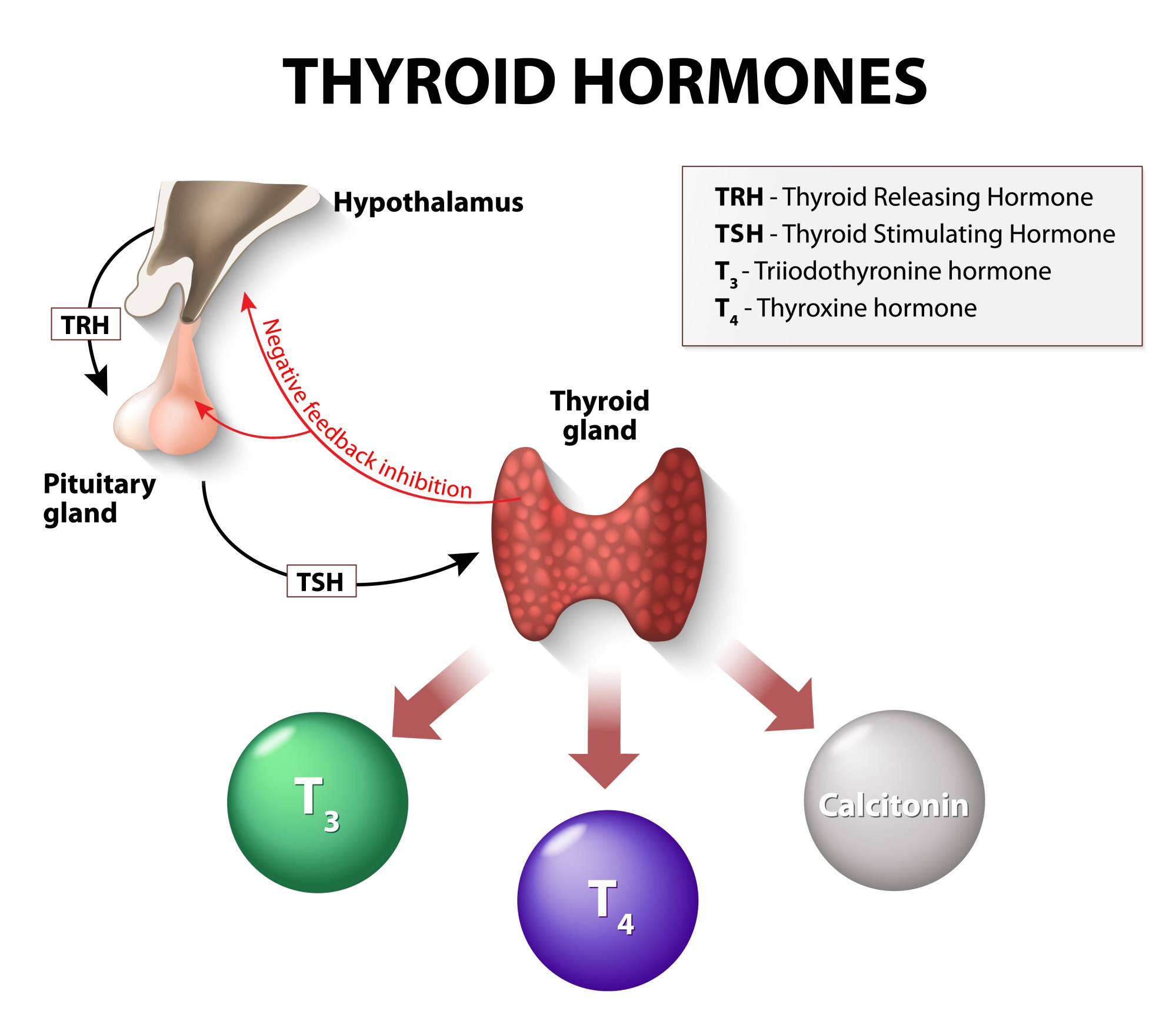 hight resolution of how thyroid hormones interact