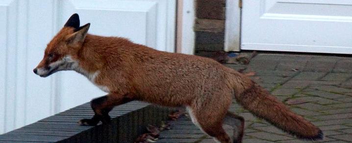Foxes Renfrewshire Website