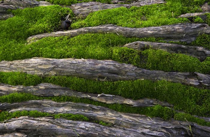 tea-rose-with-moss-smaller.jpg