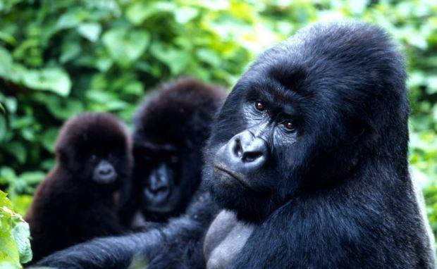 gorska-gorila