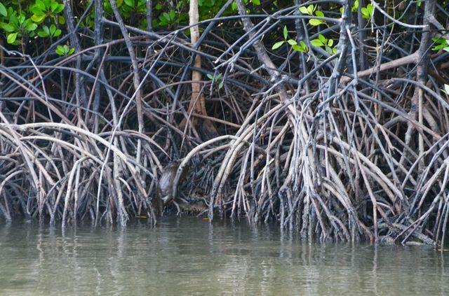 Langkawi - Mangrove - Loutre de mer