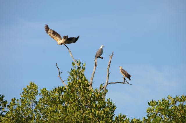 Langkawi - Mangrove - Aigles