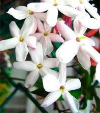 Gelsomini Flowers