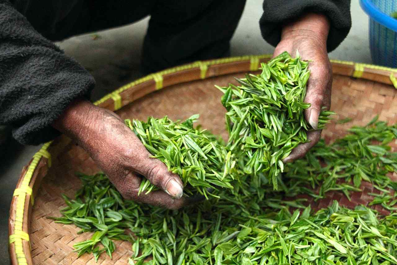 An image of a mans hands holding freshly harvested green tea leaves