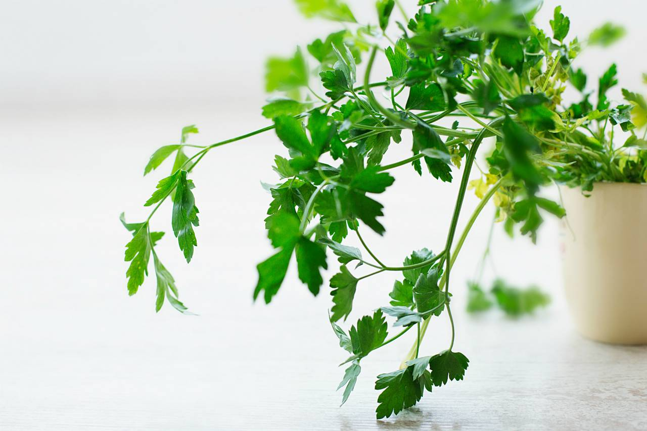An image of fresh parsley growing out of a pot
