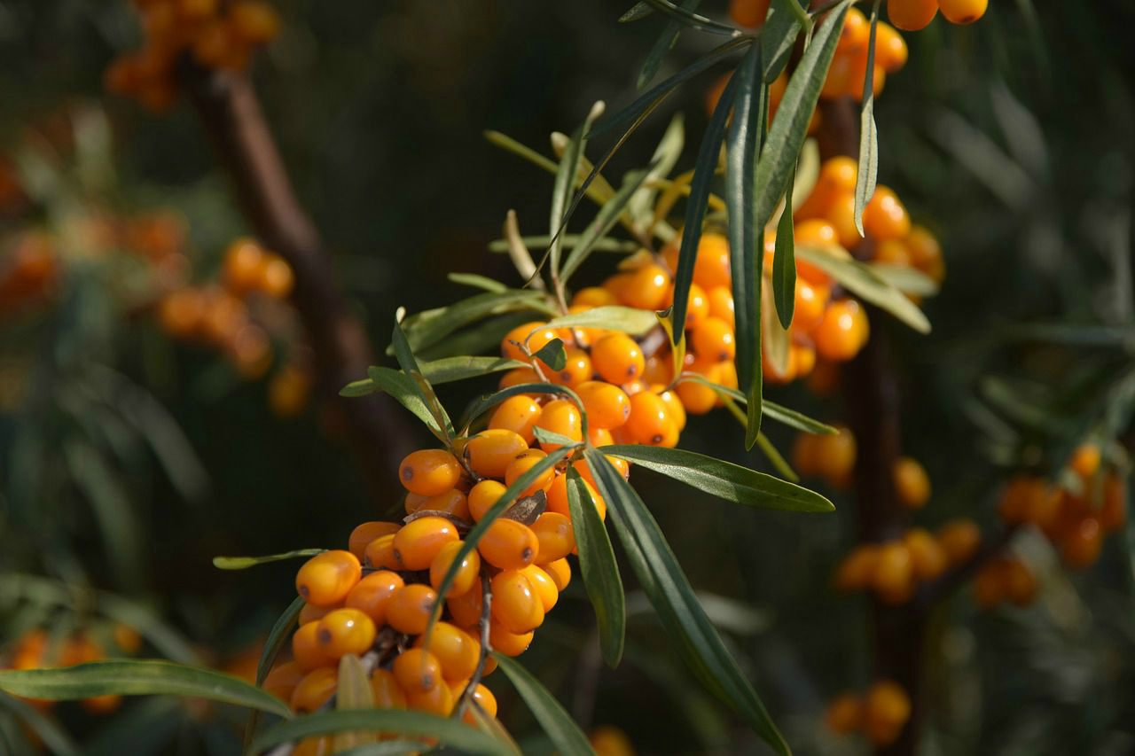 An image of a sea buckthorn plant with berries