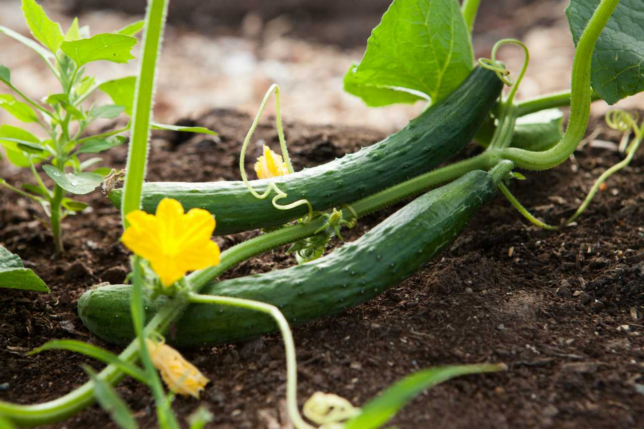 An image of two cucumbers growing in a garden