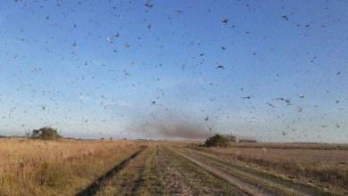 Photo of NOVA PESTE! Nuvem de gafanhotos volta a preocupar agricultores brasileiros