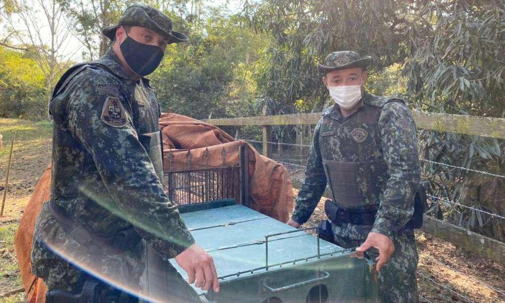 Polícia Ambiental reintroduz na natureza Onça-Parda