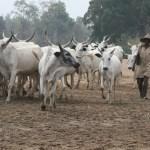 Delta Community Bans Sale And Consumption Of Beef Over Herdsmen Killing
