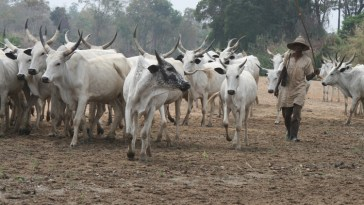 Delta Community Bans Sale And Consumption Of Beef Over Herdsmen Killing
