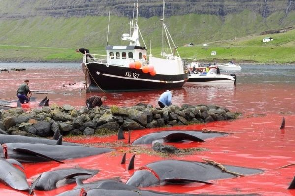 Over 1400 dolphins killed in a barbaric tradition in Denmark