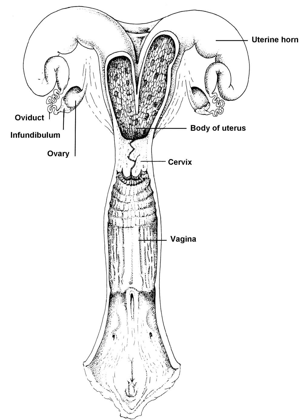 medium resolution of figure 4 basic anatomy of the bovine reproductive tract