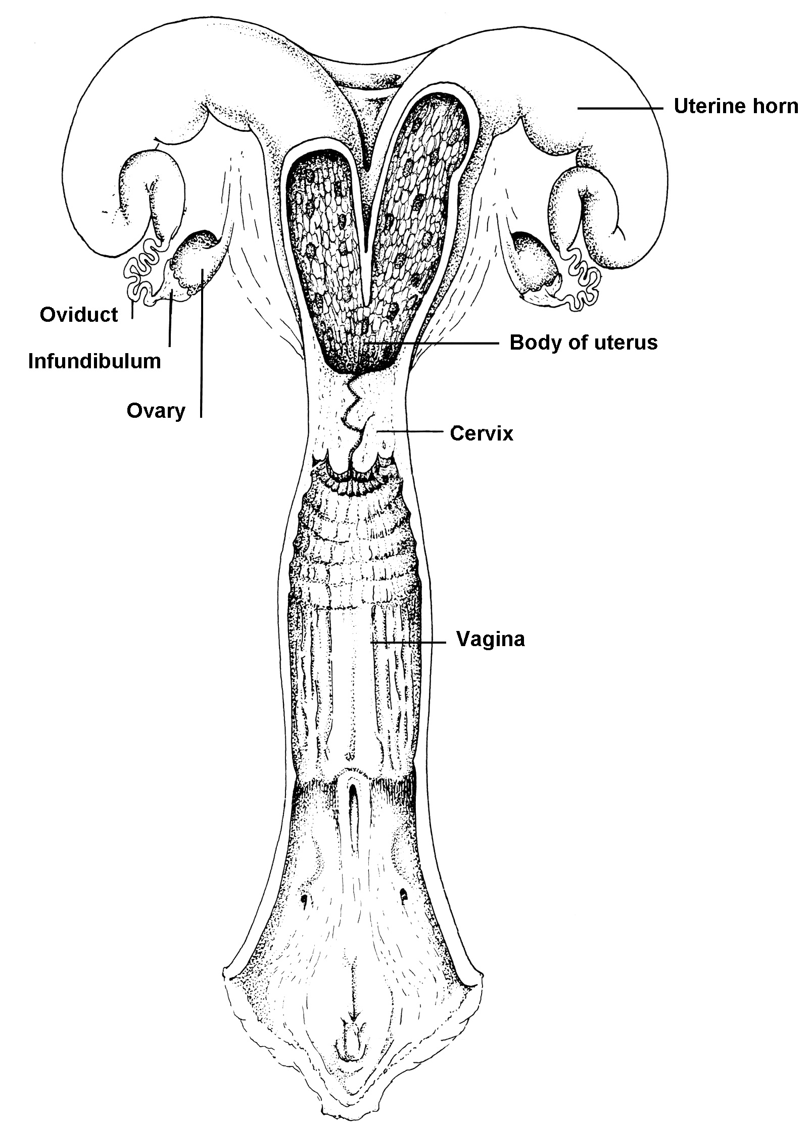 hight resolution of figure 4 basic anatomy of the bovine reproductive tract