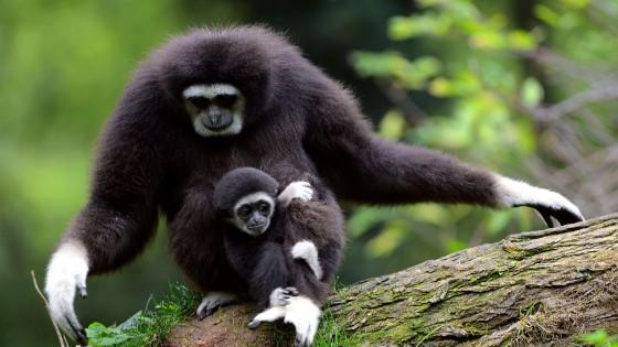 Anche i gibboni cantano  scritto nel loro Dna  Repubblicait