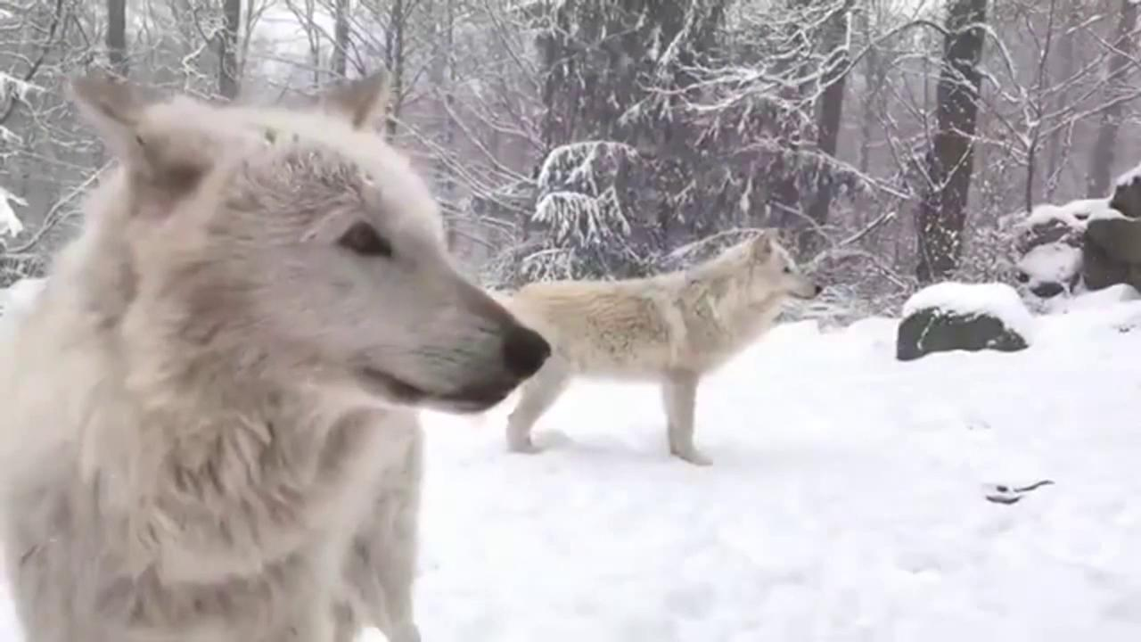 Imbiancato lo stato di New York, e i lupi giocano nella neve
